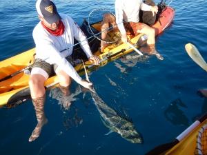 bild-2-roosterfish-10kg-tillbaka-slappt-1